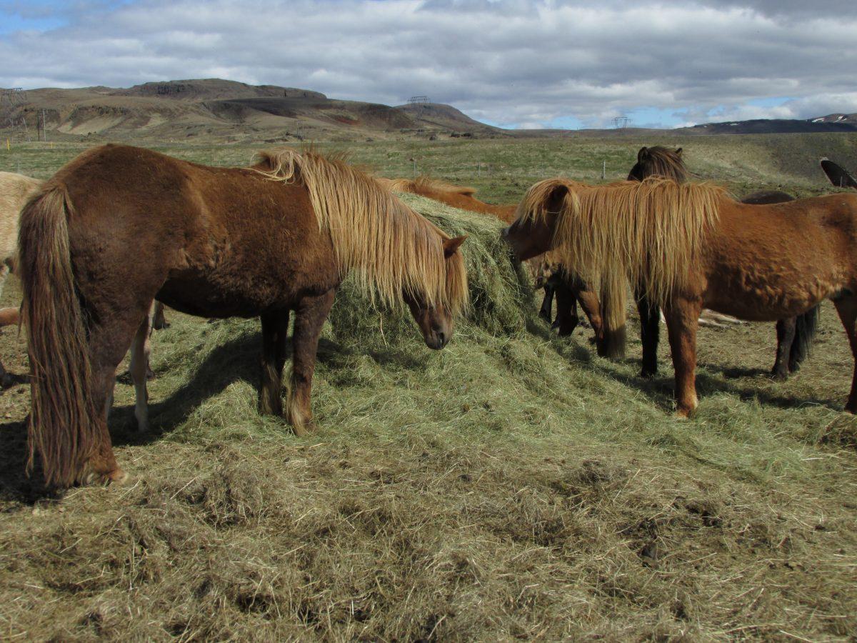 Heu, Grundfutter für Pferde