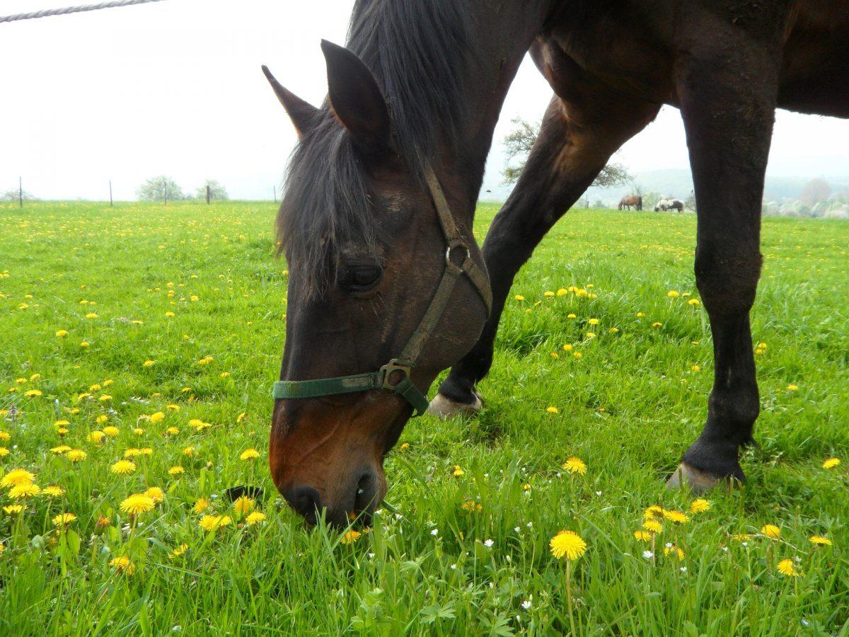Kräuterfütterung für Pferde: Löwenzahn